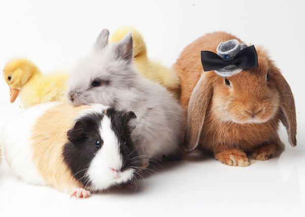 モルモットとウサギは一緒に飼う...